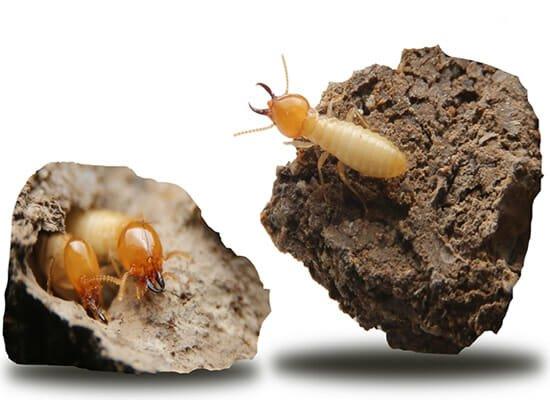 Termite Control Brisbane