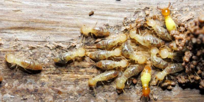 Common Australian Pest