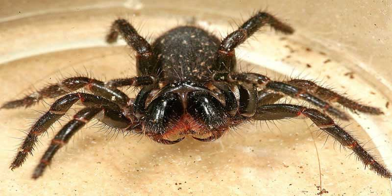 Northern and Southern Tree Funnel-Web Spider