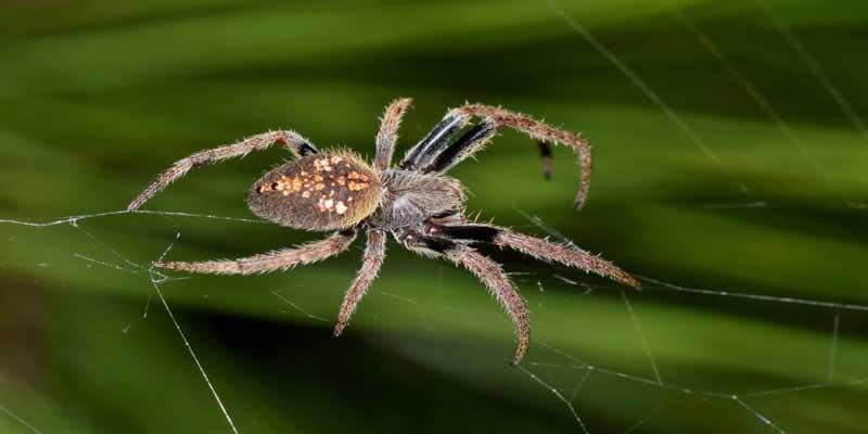 Australian Spiders Orb Weaver Spider