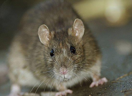 Rat & Rodent Treatment
