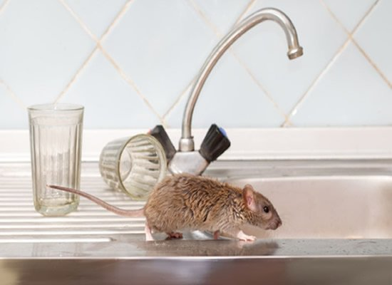 Rodent Control Experts