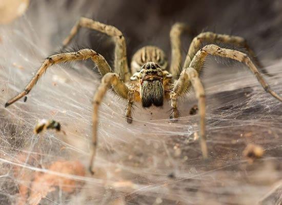 Spider Treatments Brisbane