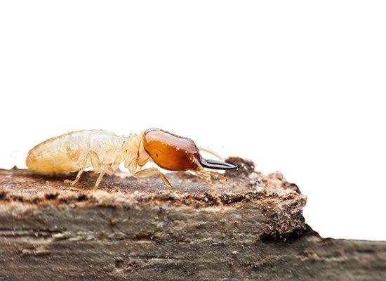 White Ant Control Brisbane