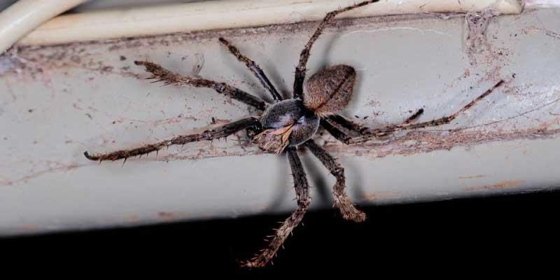 Australian Spiders